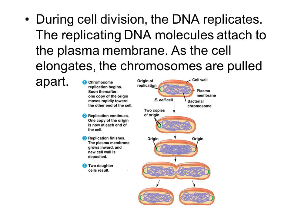 During cell division, the DNA replicates