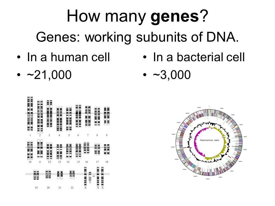 How many genes Genes: working subunits of DNA.