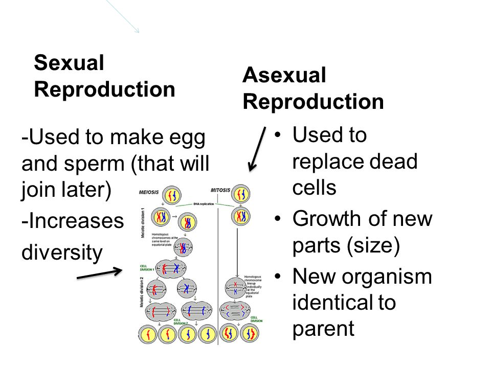 Sexual Reproduction Asexual Reproduction. -Used to make egg and sperm (that will join later) -Increases diversity