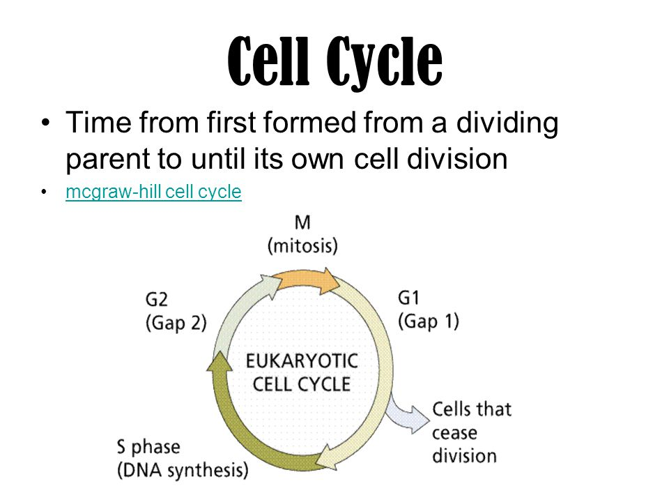 Cell Cycle Time from first formed from a dividing parent to until its own cell division.