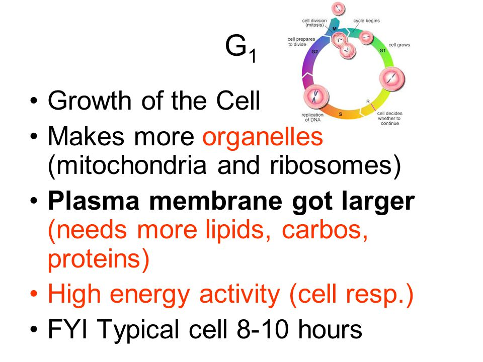 G1 Growth of the Cell. Makes more organelles (mitochondria and ribosomes) Plasma membrane got larger (needs more lipids, carbos, proteins)