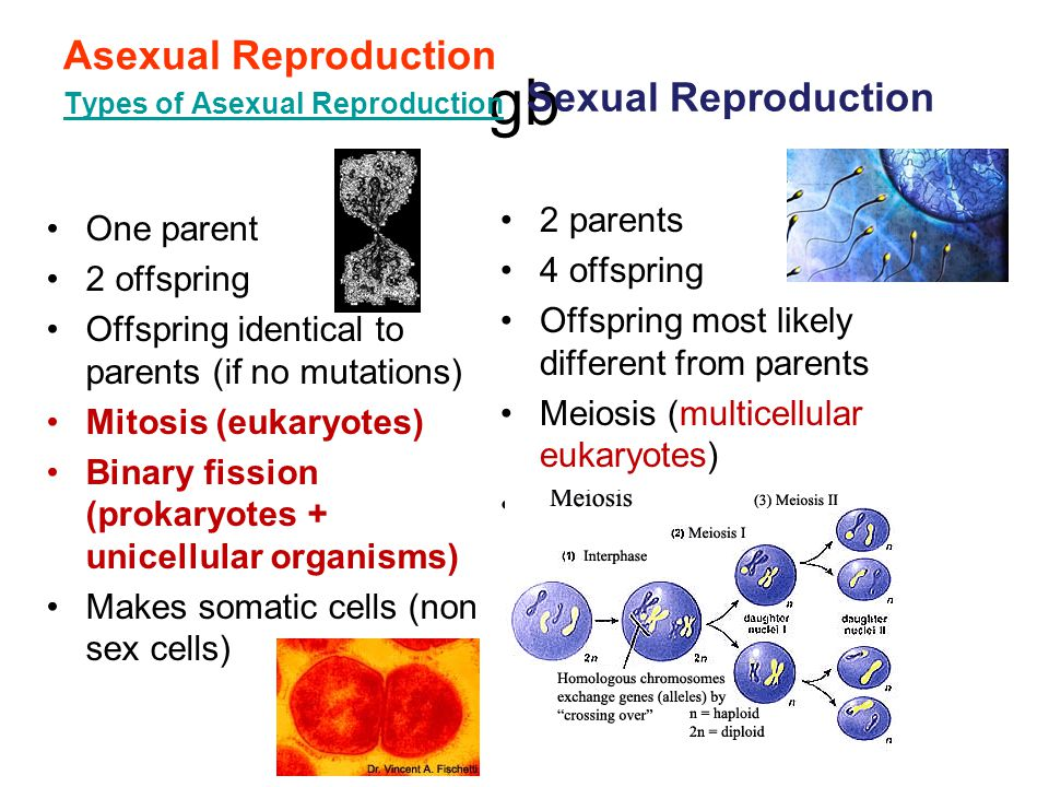 gb Asexual Reproduction Sexual Reproduction 2 parents One parent