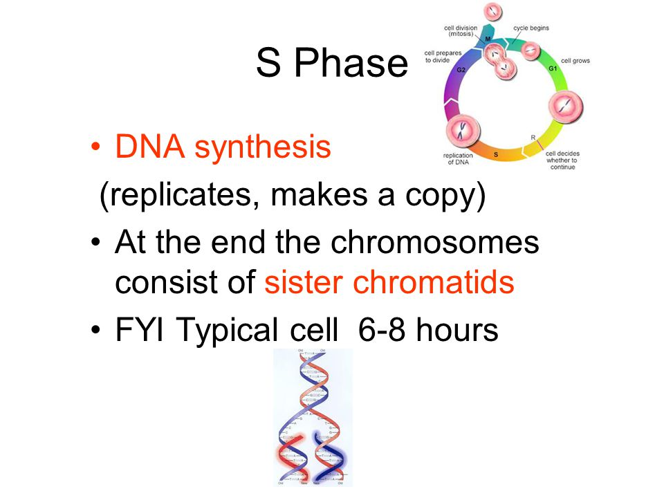 S Phase DNA synthesis (replicates, makes a copy)