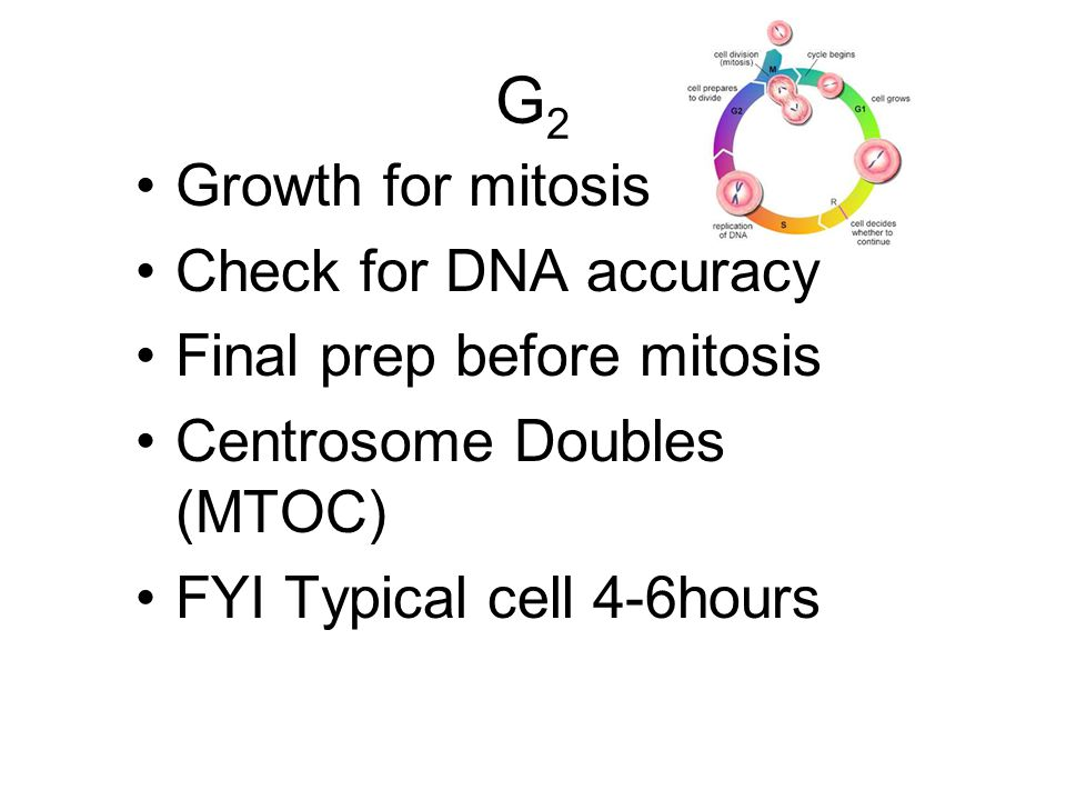G2 Growth for mitosis Check for DNA accuracy Final prep before mitosis