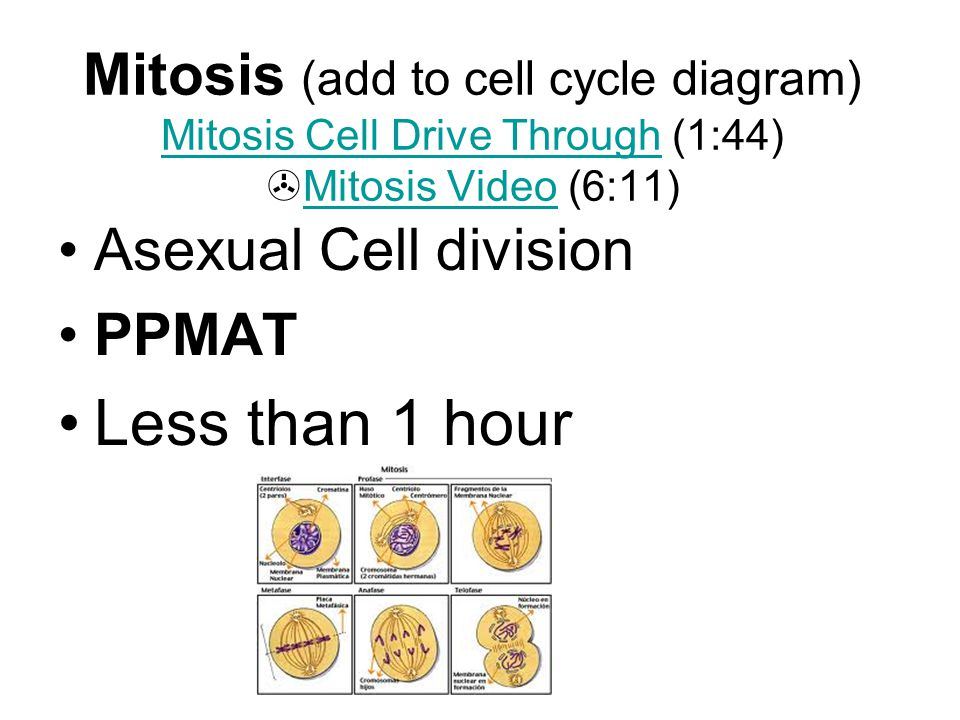 Mitosis (add to cell cycle diagram) Mitosis Cell Drive Through (1:44) Mitosis Video (6:11)