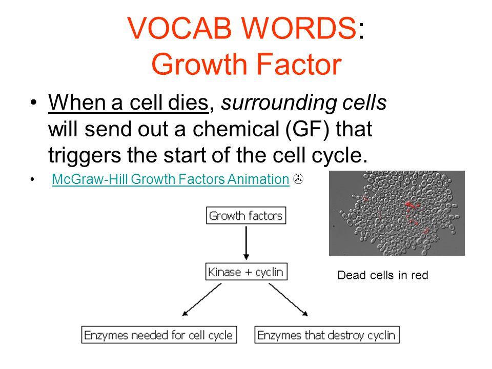 VOCAB WORDS: Growth Factor