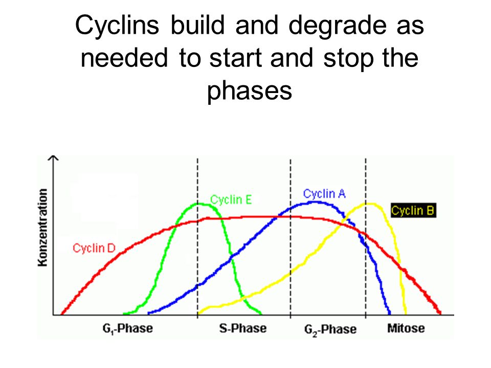 Cyclins build and degrade as needed to start and stop the phases