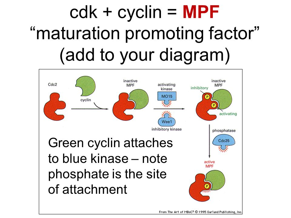 cdk + cyclin = MPF maturation promoting factor (add to your diagram)