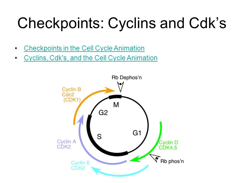 Checkpoints: Cyclins and Cdk's