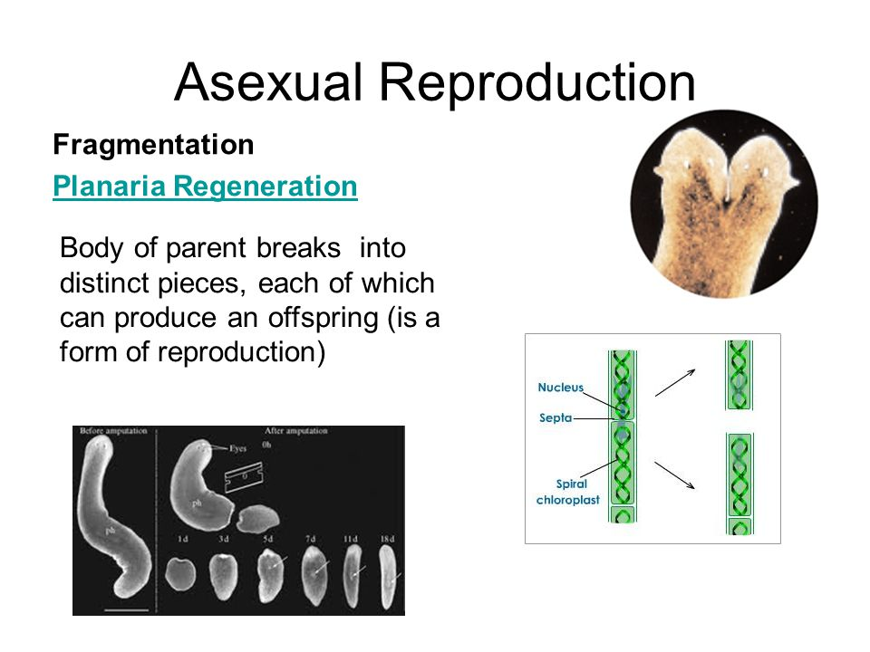 Asexual Reproduction Fragmentation Planaria Regeneration