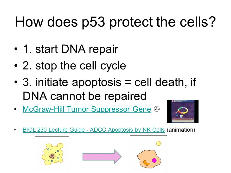 How does p53 protect the cells