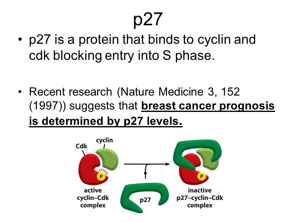p27 p27 is a protein that binds to cyclin and cdk blocking entry into S phase.