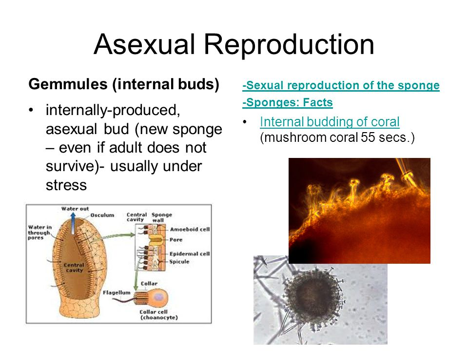 Asexual Reproduction Gemmules (internal buds)