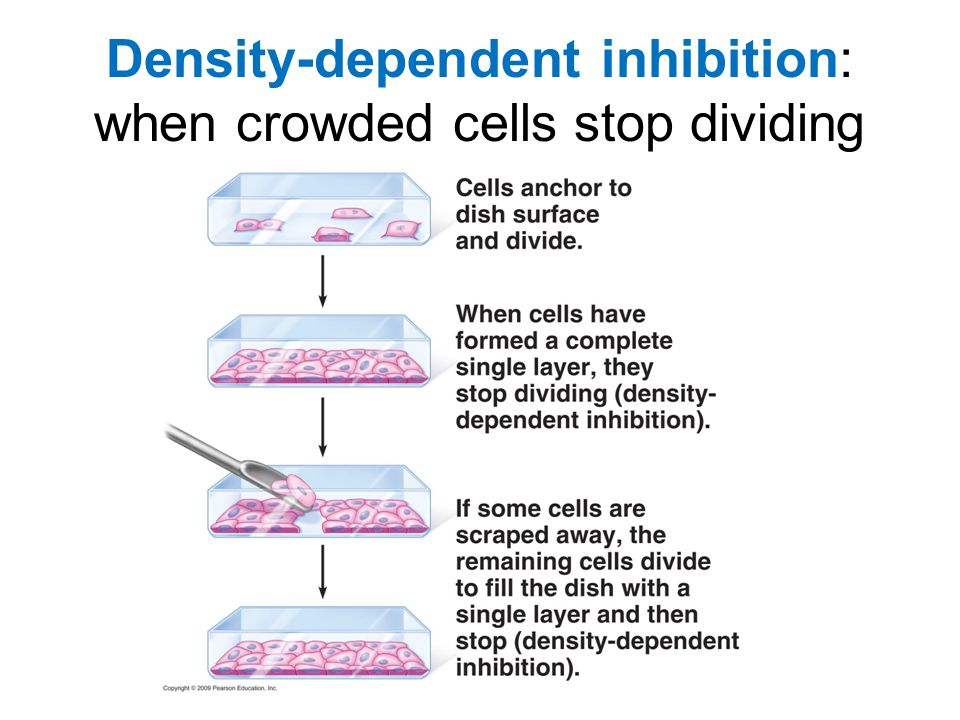 Density-dependent inhibition: when crowded cells stop dividing