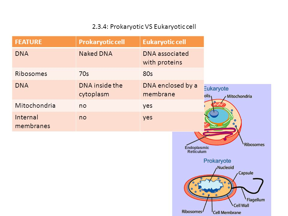 2.3.4: Prokaryotic VS Eukaryotic cell