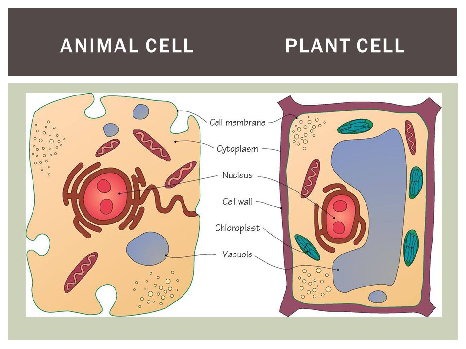 Animal cell plant cell