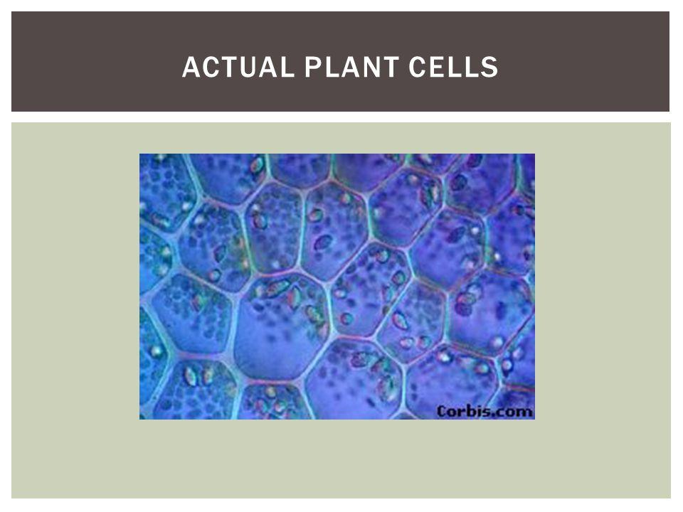 Actual plant cells