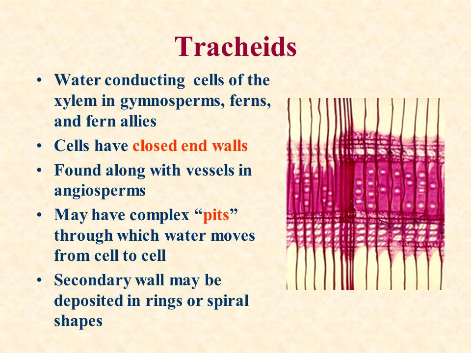 Tracheids Water conducting cells of the xylem in gymnosperms, ferns, and fern allies. Cells have closed end walls.