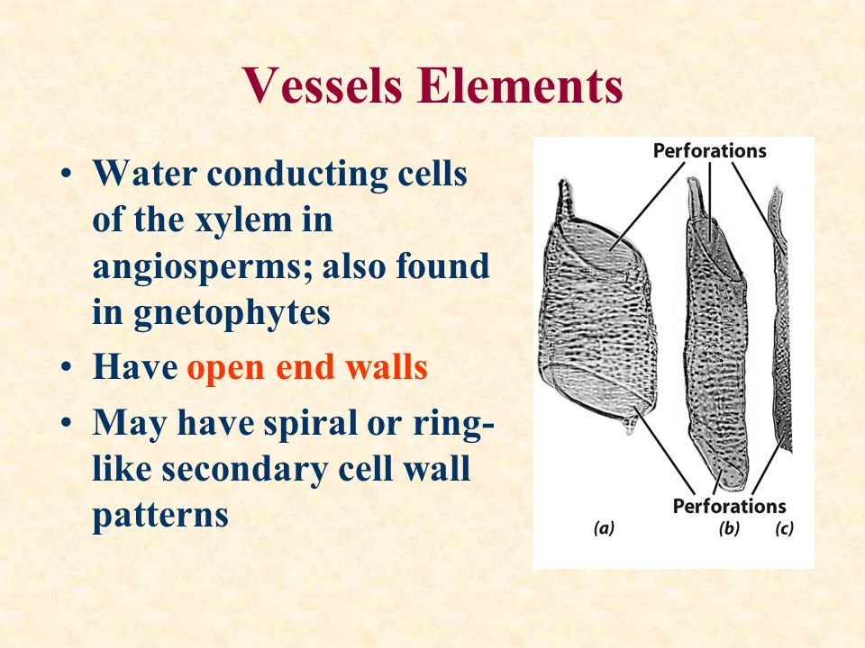 Vessels Elements Water conducting cells of the xylem in angiosperms; also found in gnetophytes. Have open end walls.