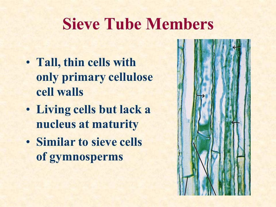 Sieve Tube Members Tall, thin cells with only primary cellulose cell walls. Living cells but lack a nucleus at maturity.