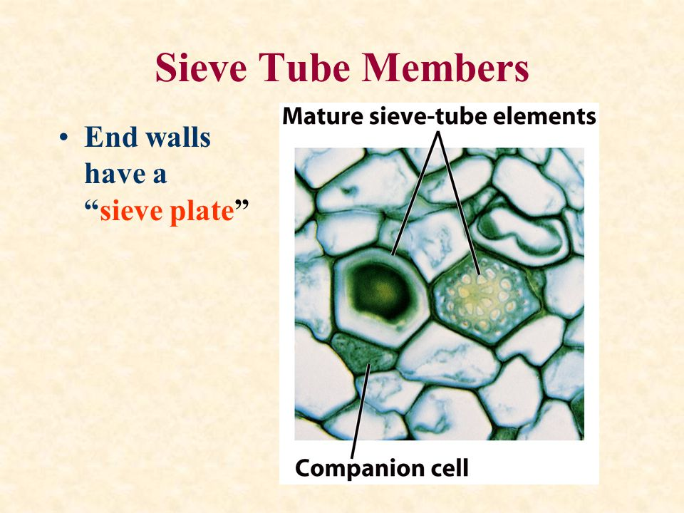 Sieve Tube Members End walls have a sieve plate
