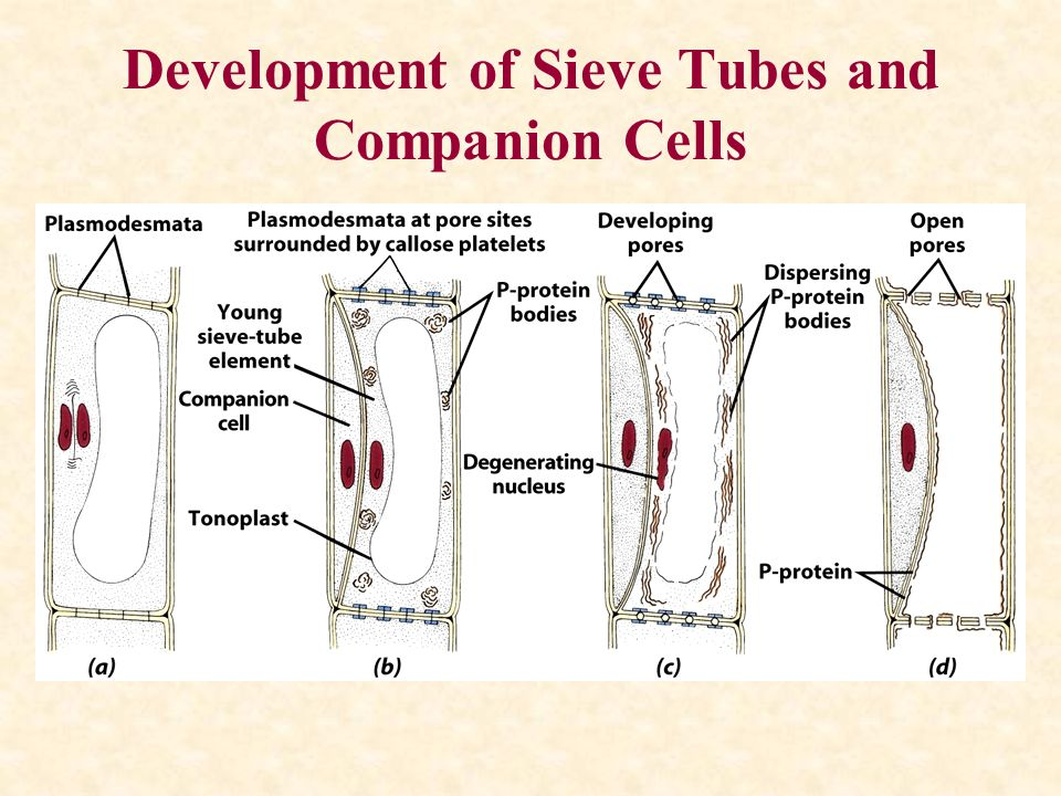 Development of Sieve Tubes and Companion Cells