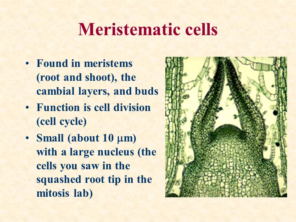 Meristematic cells Found in meristems (root and shoot), the cambial layers, and buds. Function is cell division (cell cycle)