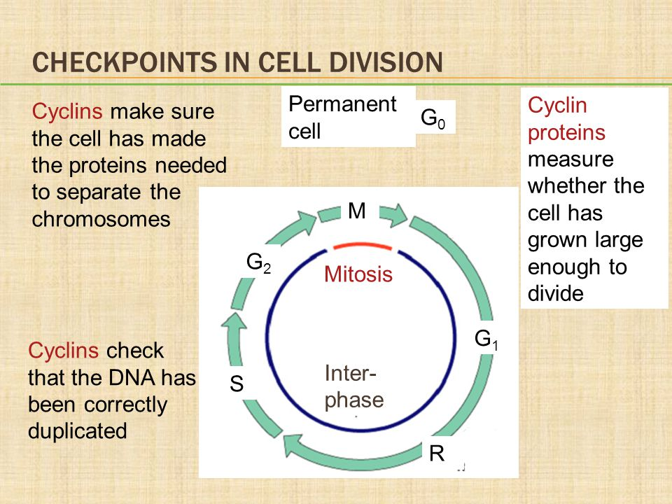 Checkpoints in Cell Division