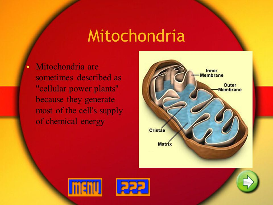 Mitochondria Mitochondria are sometimes described as cellular power plants because they generate most of the cell s supply of chemical energy.