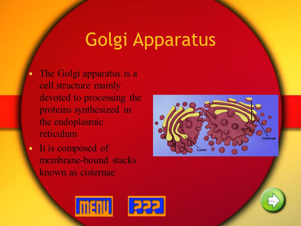 Golgi Apparatus The Golgi apparatus is a cell structure mainly devoted to processing the proteins synthesized in the endoplasmic reticulum.