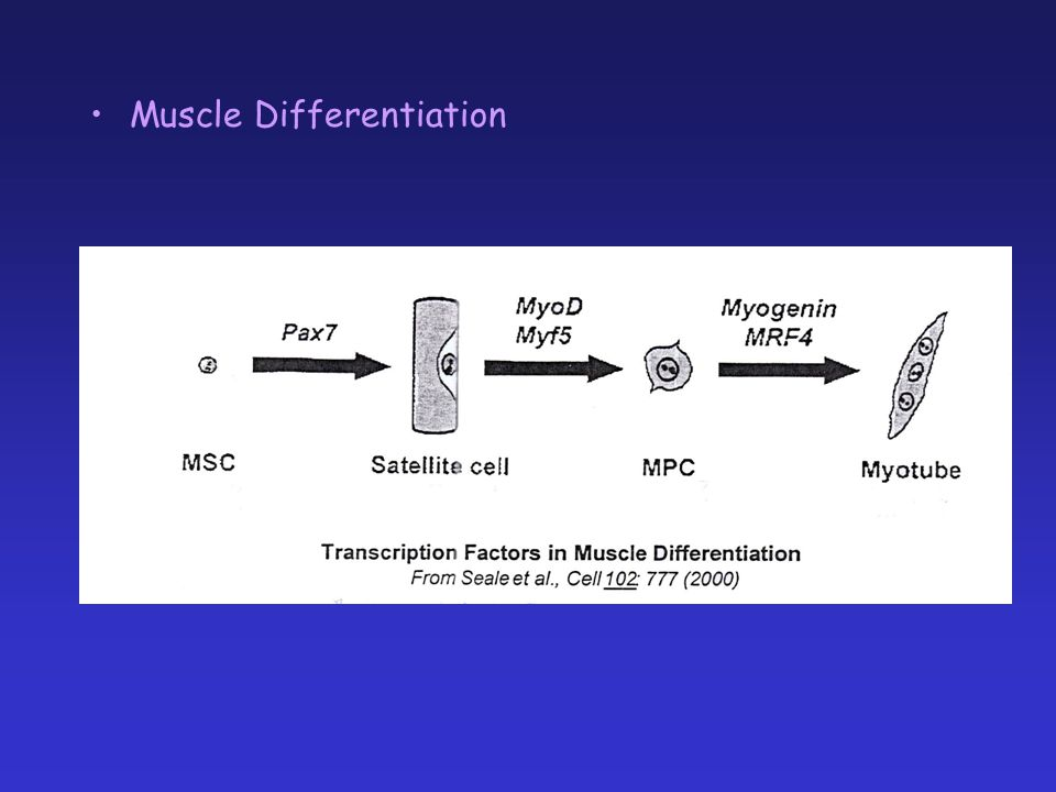 Muscle Differentiation