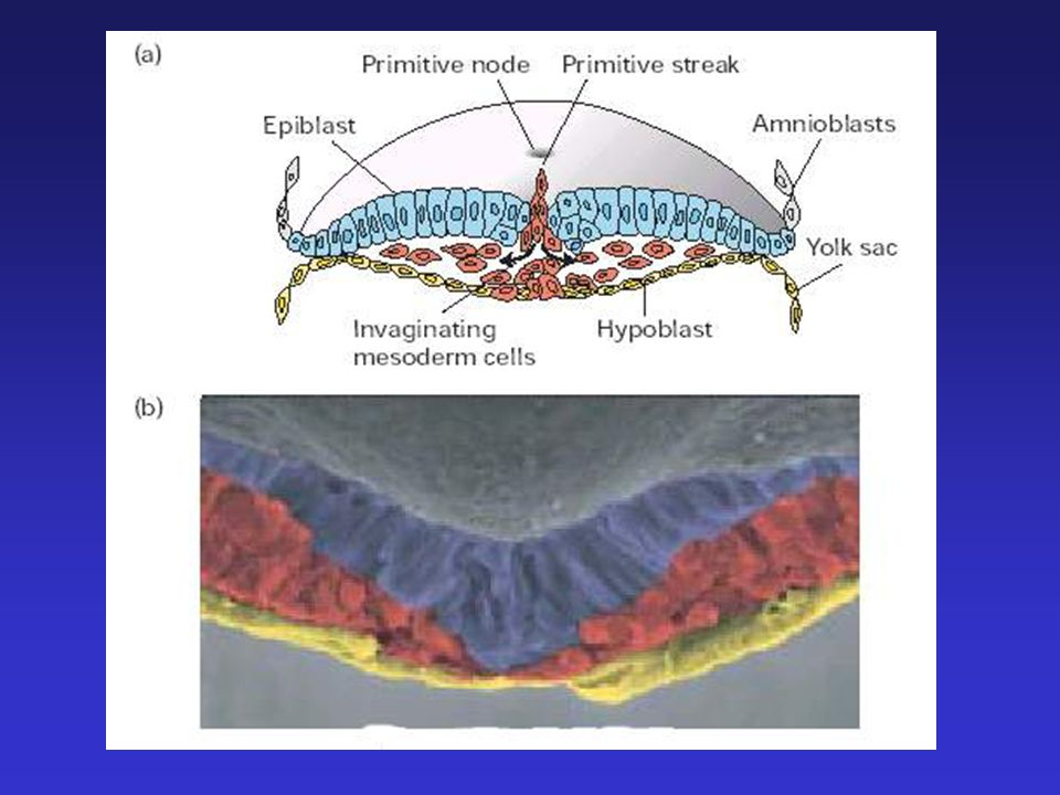 Layers of germ cell