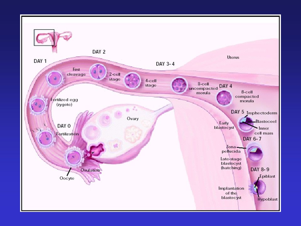 Development of the Preimplantation Blastocyst in Humans