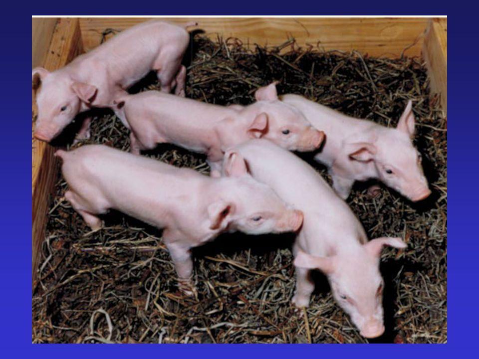 Clone Pig C