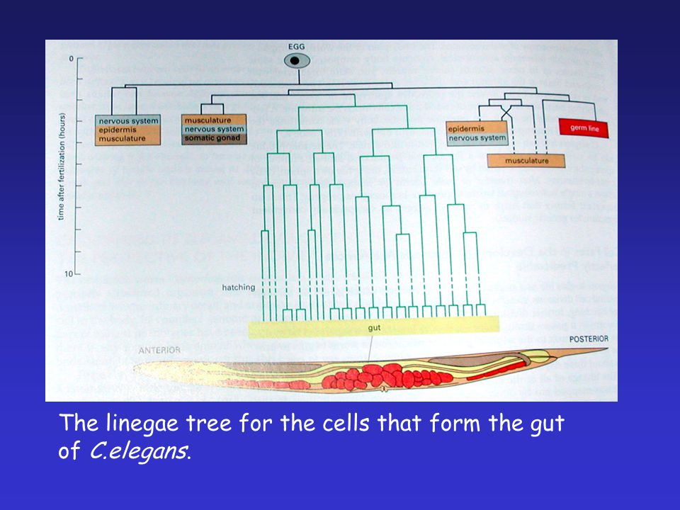 The linegae tree for the cells that form the gut of C.elegans.