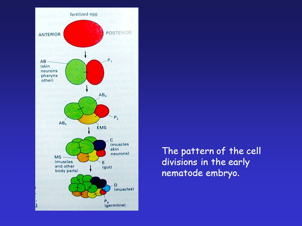 The pattern of the cell divisions in the early nematode embryo.
