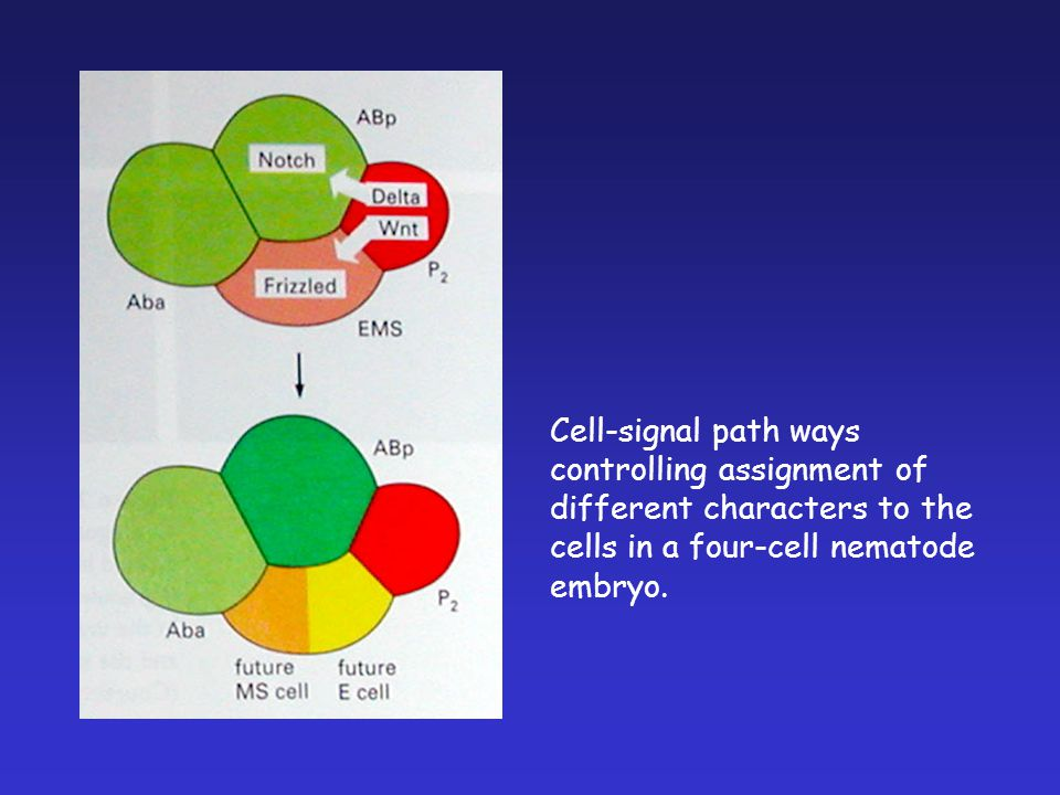 Cell-signal path ways controlling assignment of different characters to the cells in a four-cell nematode embryo.