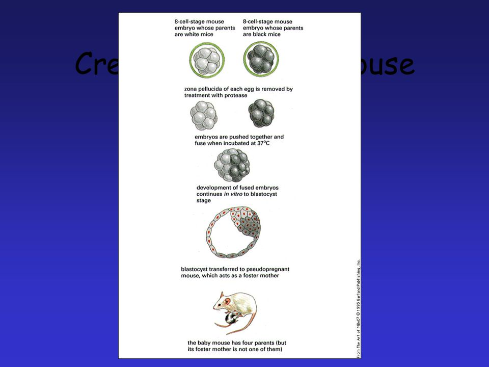 Creating chimeric mouse