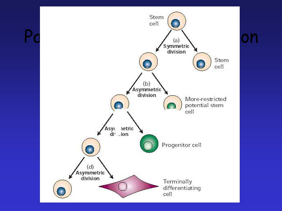 Patterns of stem cell division