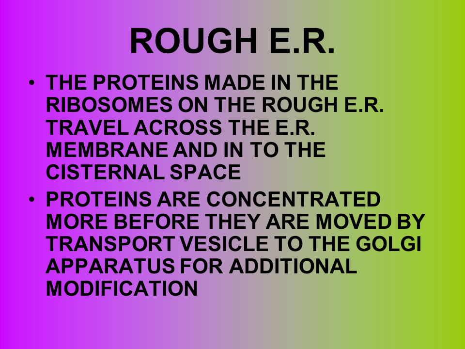 ROUGH E.R. THE PROTEINS MADE IN THE RIBOSOMES ON THE ROUGH E.R. TRAVEL ACROSS THE E.R. MEMBRANE AND IN TO THE CISTERNAL SPACE.