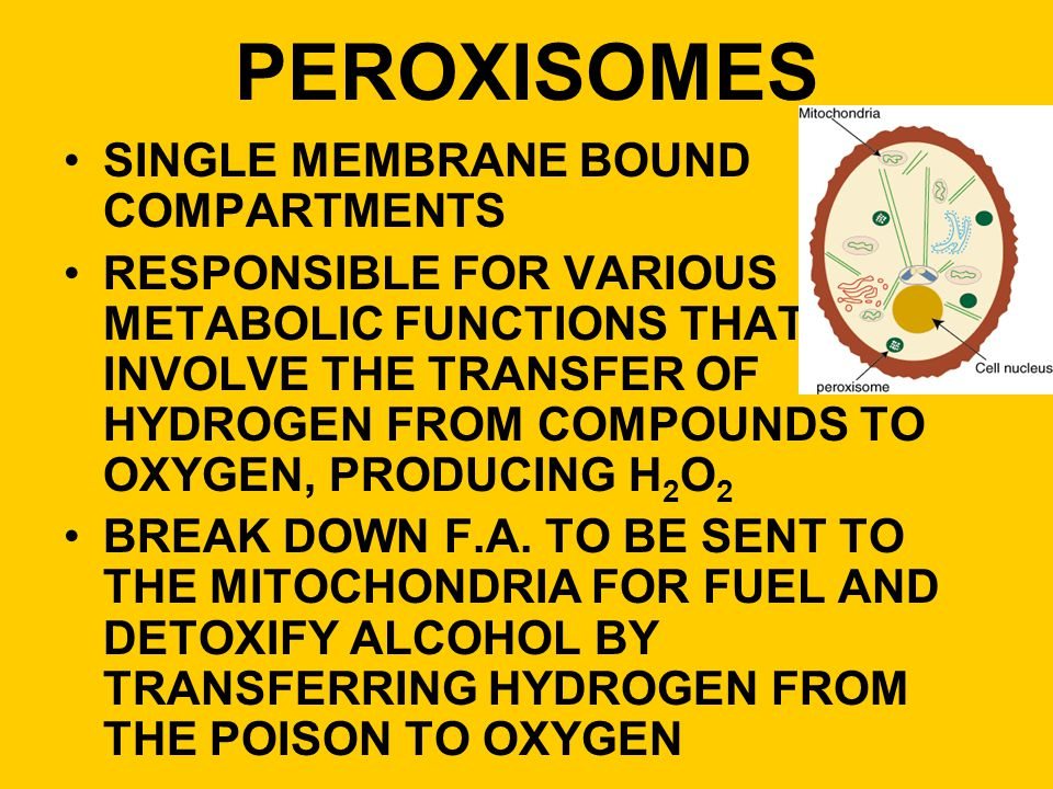 PEROXISOMES SINGLE MEMBRANE BOUND COMPARTMENTS