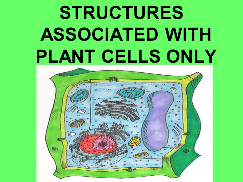STRUCTURES ASSOCIATED WITH PLANT CELLS ONLY