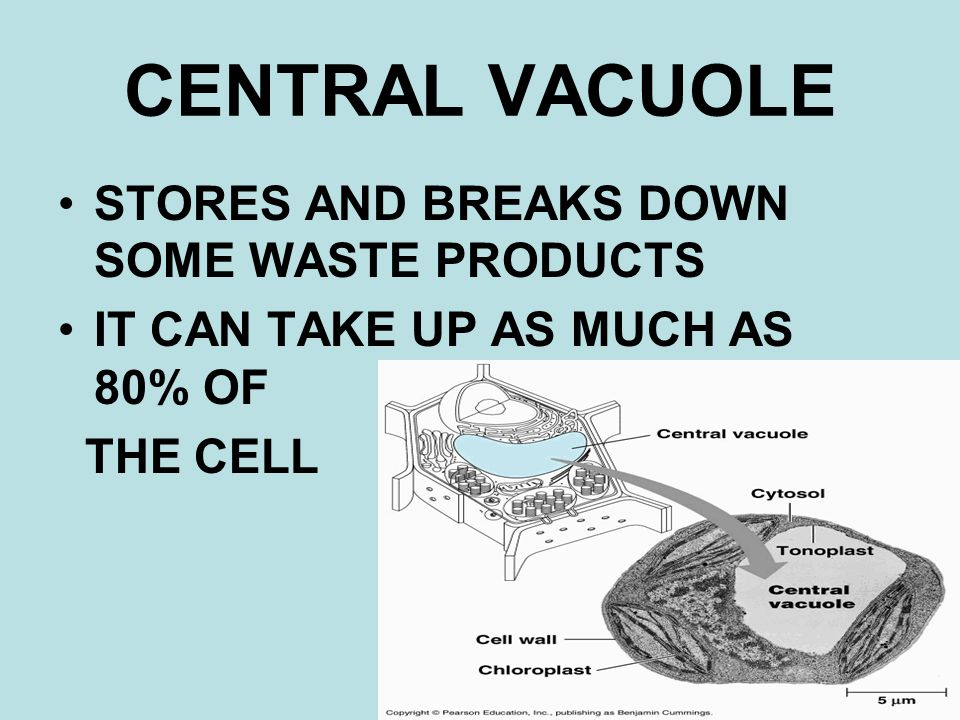 CENTRAL VACUOLE STORES AND BREAKS DOWN SOME WASTE PRODUCTS