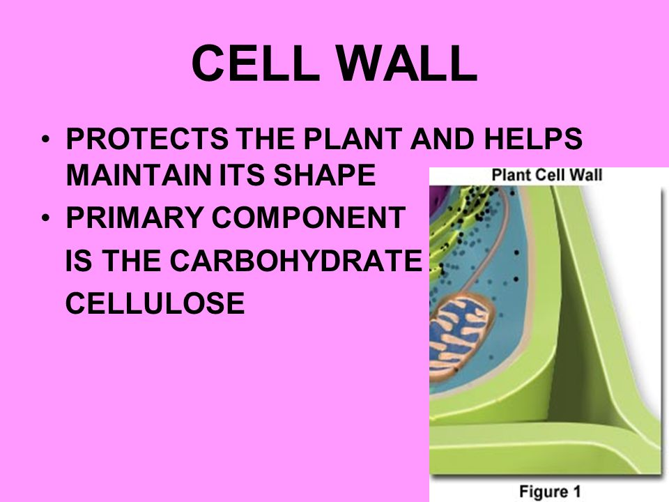 CELL WALL PROTECTS THE PLANT AND HELPS MAINTAIN ITS SHAPE