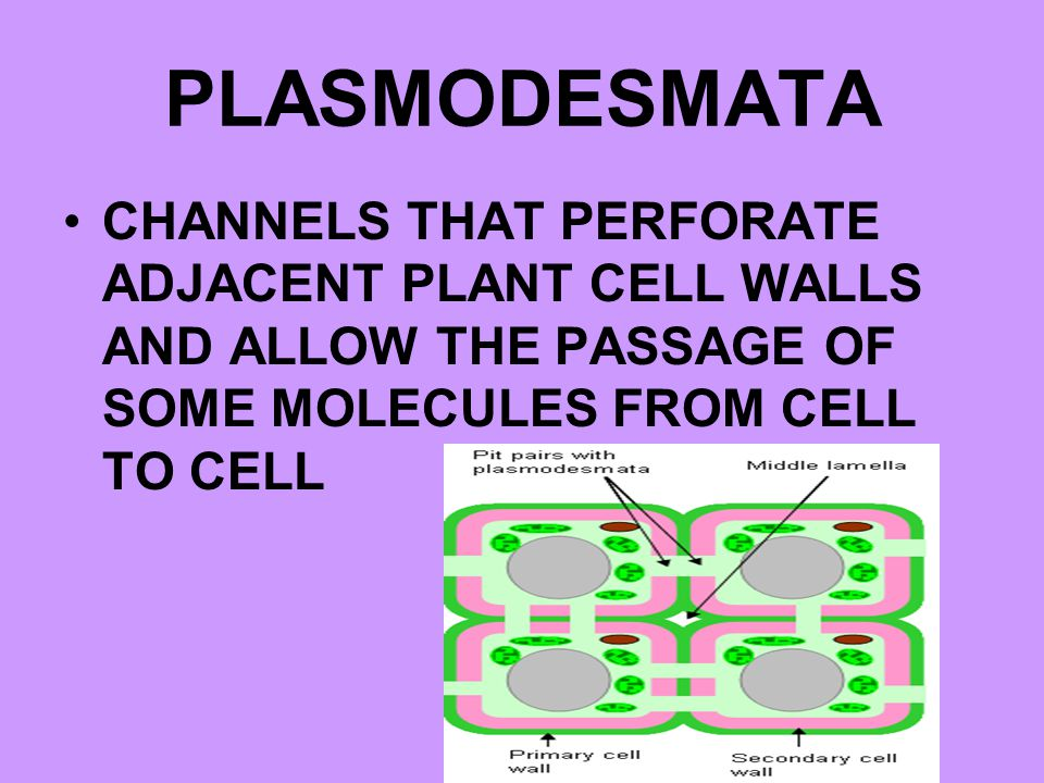 PLASMODESMATA CHANNELS THAT PERFORATE ADJACENT PLANT CELL WALLS AND ALLOW THE PASSAGE OF SOME MOLECULES FROM CELL TO CELL.