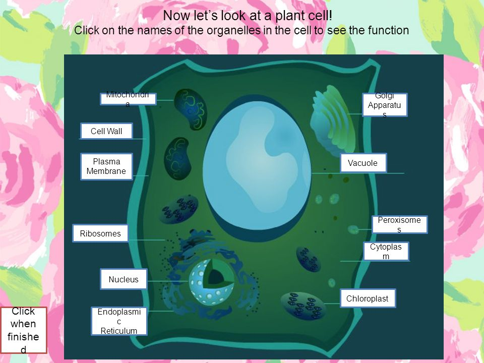 Now let's look at a plant cell!
