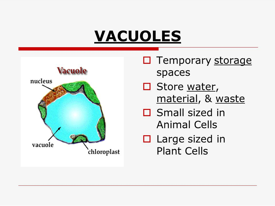 VACUOLES Temporary storage spaces Store water, material, & waste