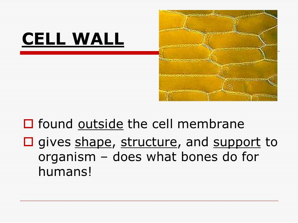 CELL WALL found outside the cell membrane