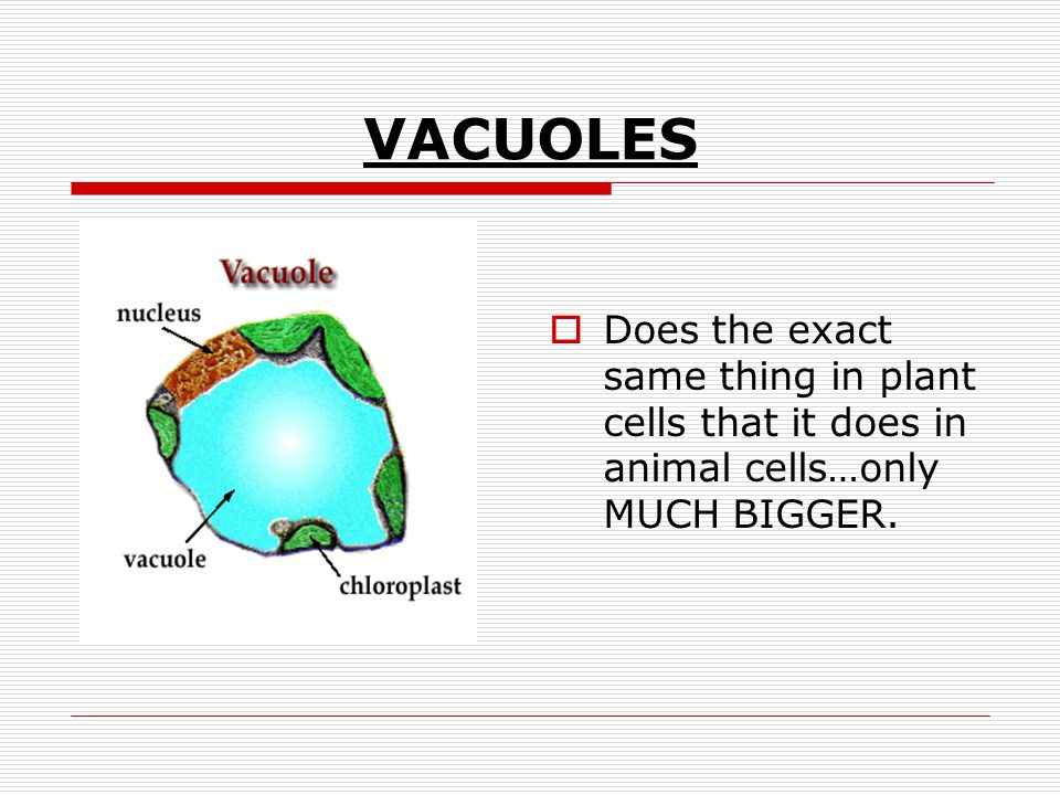 VACUOLES Does the exact same thing in plant cells that it does in animal cells…only MUCH BIGGER.