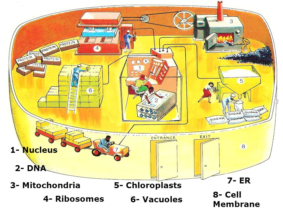 1- Nucleus 2- DNA 7- ER 3- Mitochondria 5- Chloroplasts 8- Cell Membrane 4- Ribosomes 6- Vacuoles